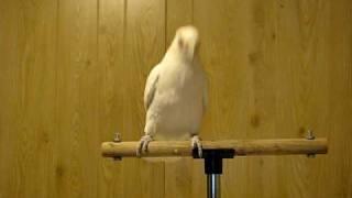 Thumb La cacatúa blanca Frostie bailando Shake Your Tail Feather!