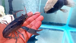 FEEDING my ALIEN Fish LIVE Caught BLUE LOBSTER CRAWFISH!