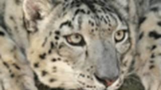 RARE - Snow Leopard HELLO!