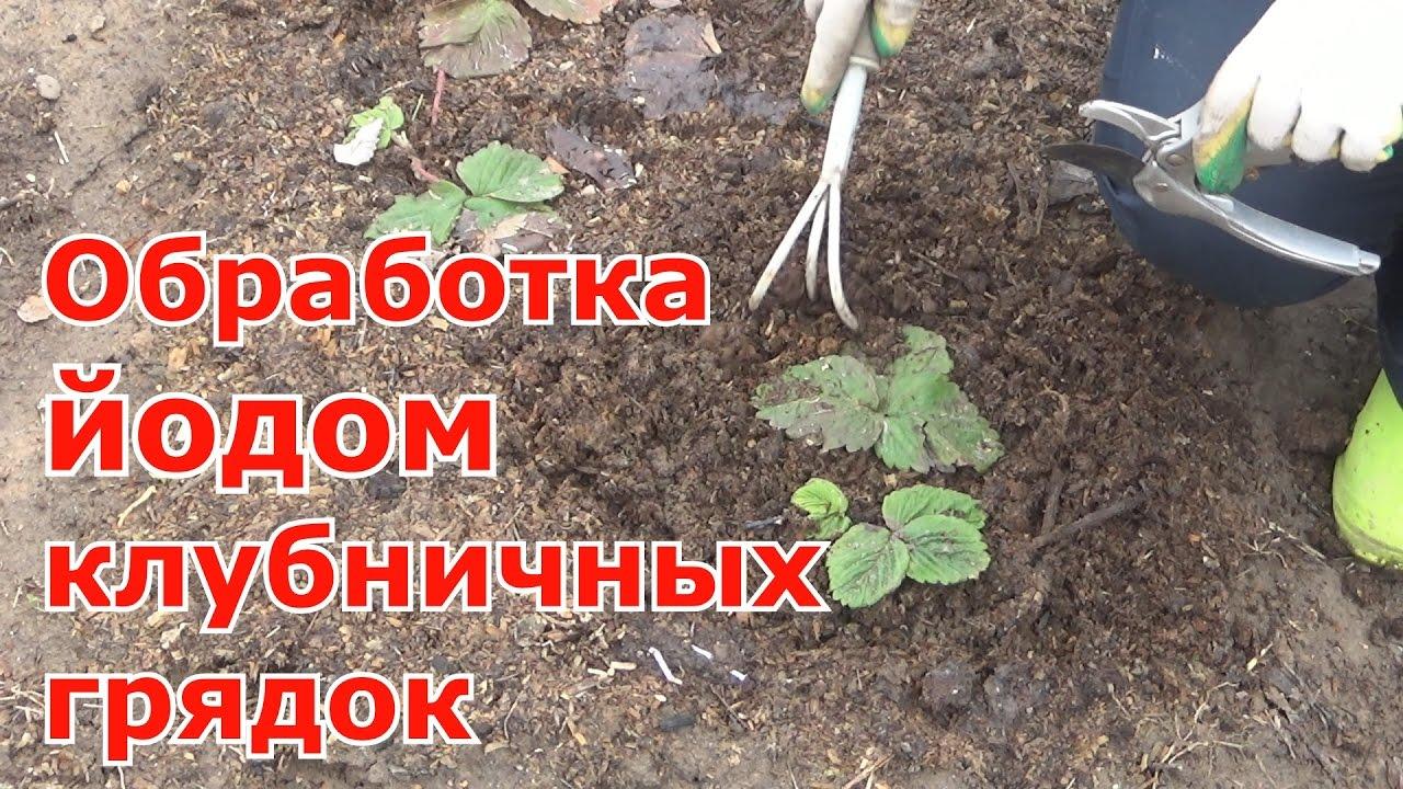 Йод применение при выращивании земляники 69