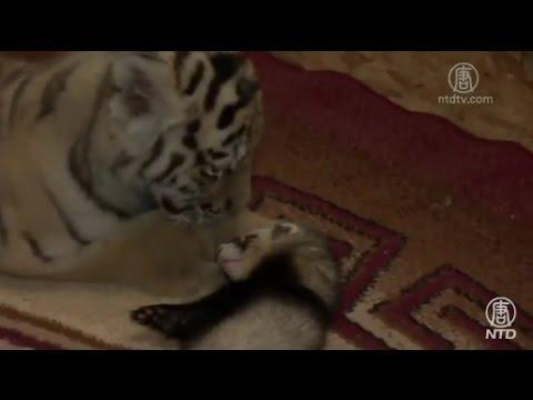 俄國小老虎住公寓 與雪貂做室友(稀罕)