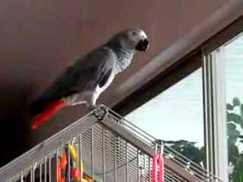 African Grey Parrot Chatting Video