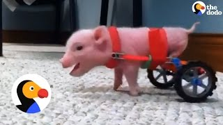 Pig Gets New Wheelchairs from his Dad | The Dodo