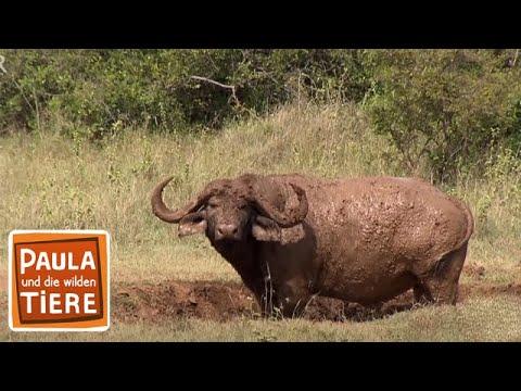 Achtung Büffel! (Doku) | Reportage für Kinder | Paula und die wilden Tiere