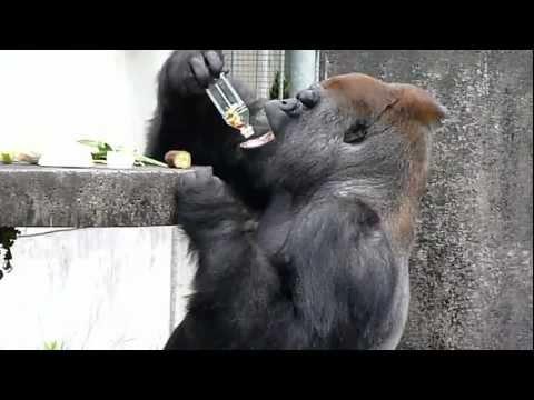 ペットボトルから果物を取り出すゴリラのショウ君_Shou