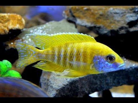 African Cichlid Peacocks And Haps Show Tank 75g Youtube