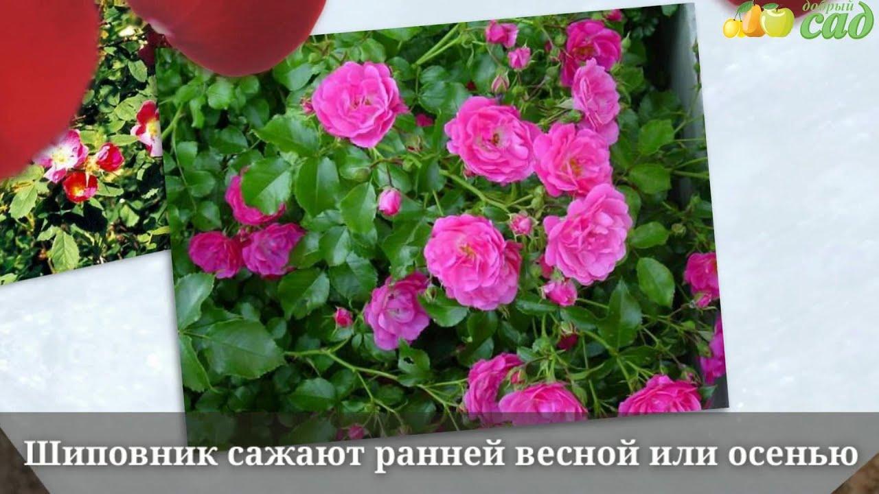 Выращивание шиповника на розы 647