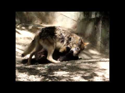 東山動植物園の仔オオカミ 1 シンリンオオカミ