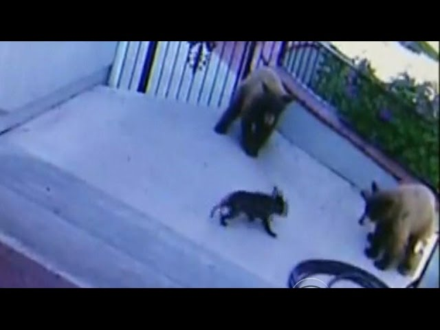 Feisty French bulldog chases bears away from Calif. home