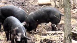 Wild Boar Hunt With Ranger 45 Air Rifle and 430 Grain Hollow Point