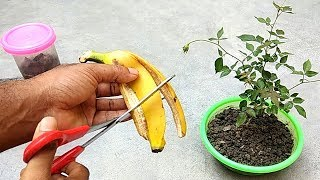 Easy and free fertilizer for any plants | Banana peel fertilizer
