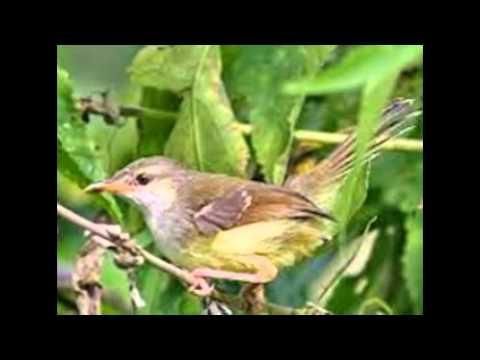 Burung Ciblek Gunung Gacor Ngebren video