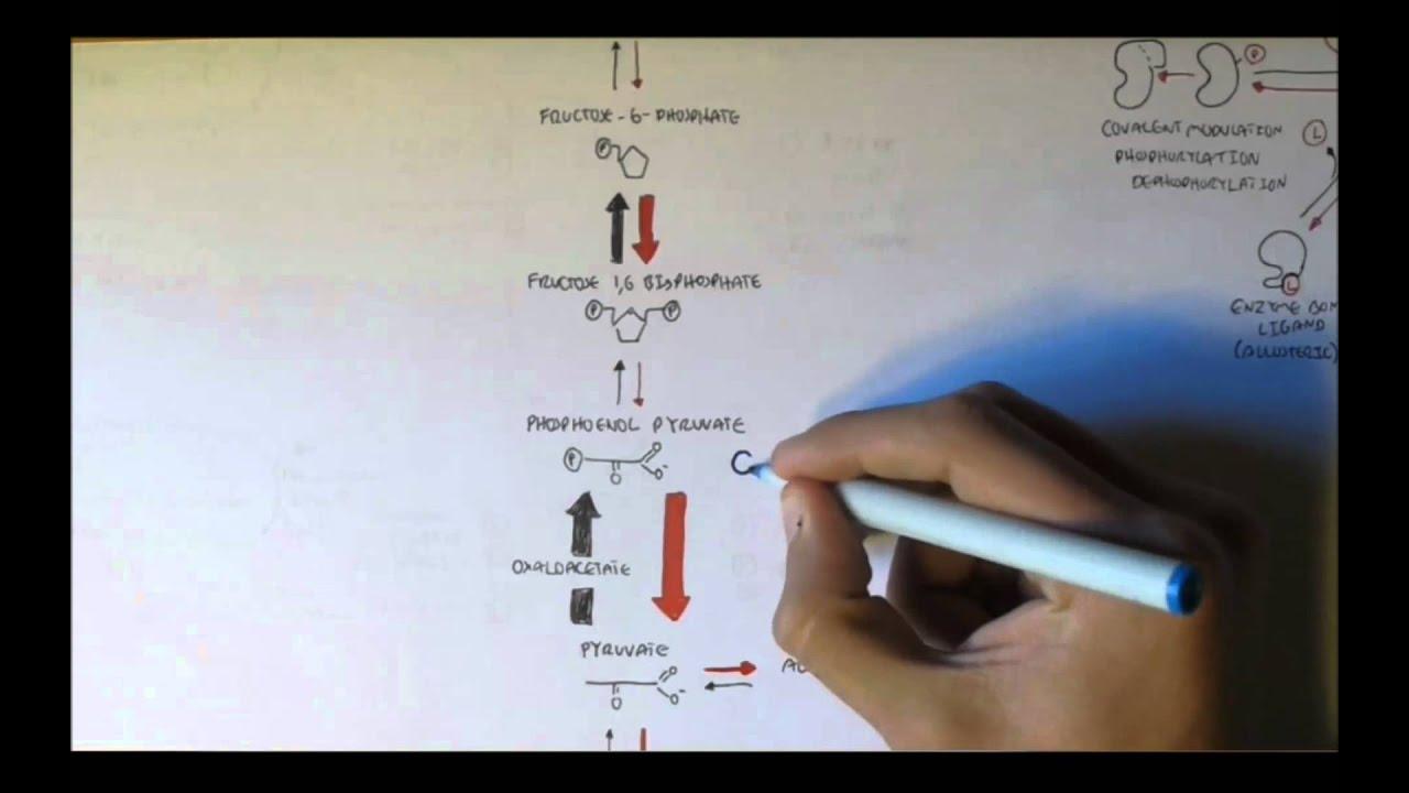 Regulation of Glycolys...