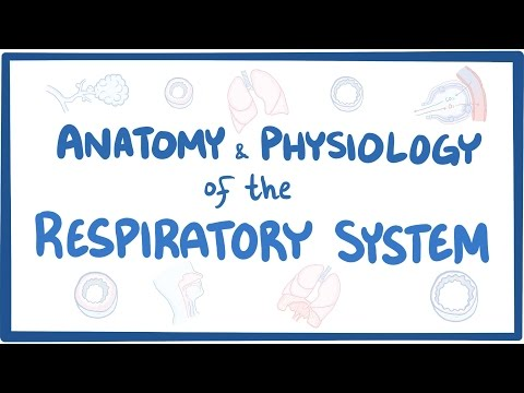 Anatomy and physiology of the respiratory system thumbnail