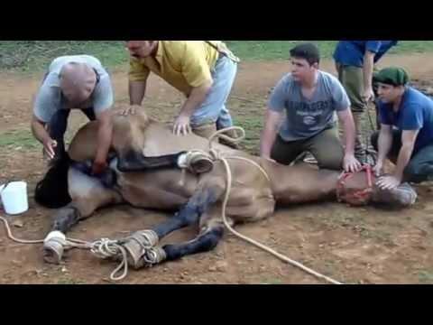 Castrando Cavalo