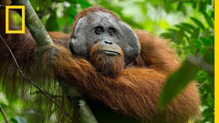 A Rare Look at the Secret Life of Orangutans | Short Film Showcase