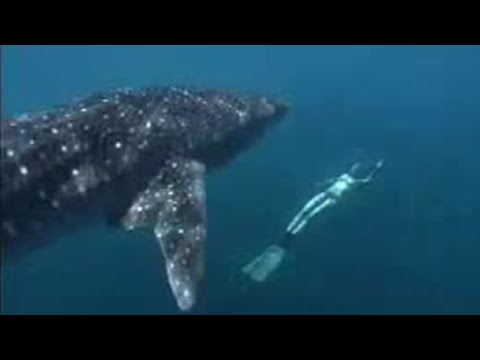 Face to face with a whale shark- Shark Therapy- Big Sharks- BBC Wildlife Video
