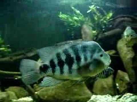 Amphilophus chancho (XXXL)