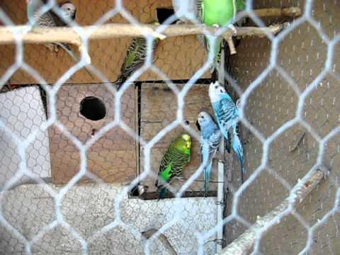 papagaji tigrice gornji milanovac.AVI