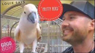 "Meet ""Louie"" the Umbrella Moluccan Cockatoo @ Parrotzville toys - Talking Birds"