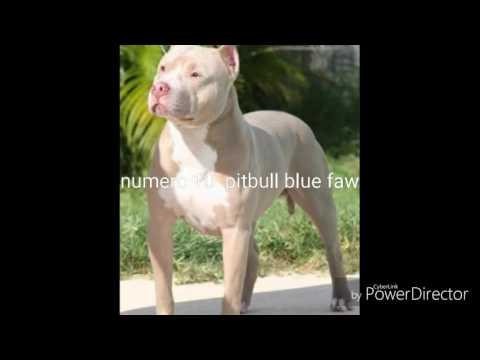 Top 5  colores de perros pitbull