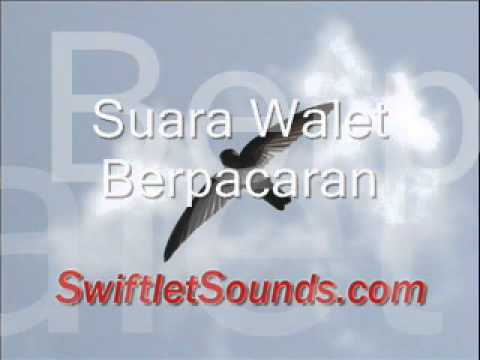 Swiftlet Sounds Suara Walet Berpacaran Internal.wmv video