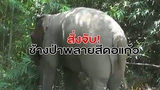 ออกหมายจับ 'ช้างป่าพลายสีดอแก้ว' แหกคุกช้าง บุกทำลายสวนชาวบ้าน