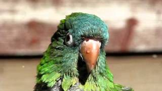 The Best of Avis The Blue Crown Conure