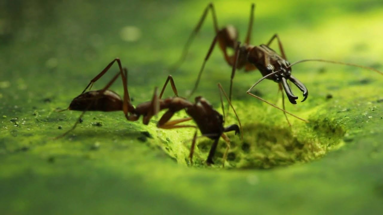 Trap Jaw Ant Facts Trap Jaw Ant Species