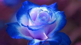 Beautiful Roses   Top Ten Roses - Top 10 Beautiful Flowers