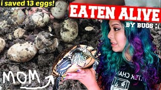 BUG INFESTED NEST: TURTLE EGGS RESCUE!