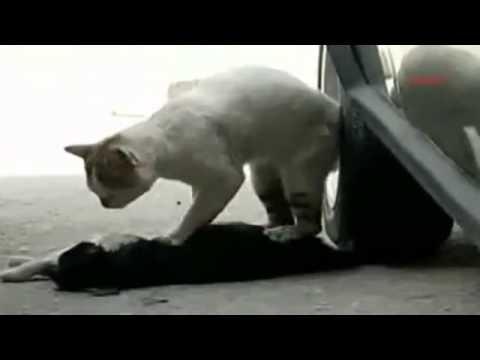 Кот делает массаж сердца, чтобы вернуть свою любимую к жизни