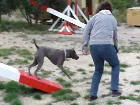 Agility : Lilly , Thai Ridgeback , 10 Mouths video