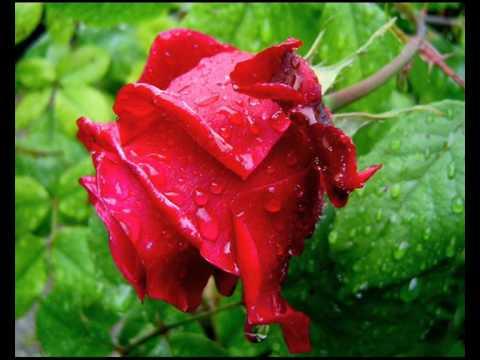 Rosas en mi jardin i poema sin palabras youtube - Jardines con rosas ...