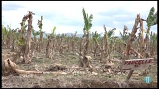 VIDEO Haiti : Is President Jovenel's Banana Farm Agritrans Dead?