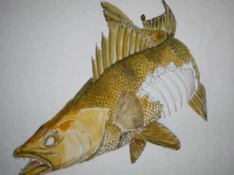 how to draw a walleye at thedoglogs