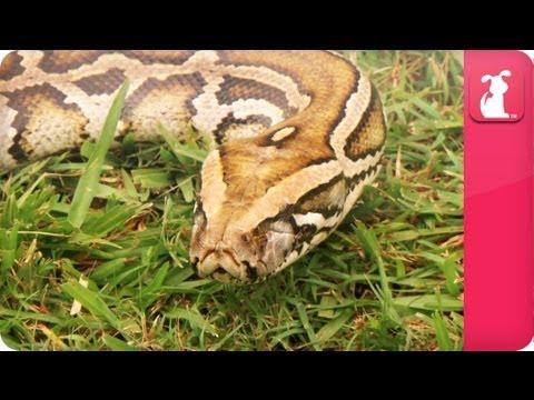 Bindi & Robert Irwin feature - Burmese Python (Jonah) - Growing Up Wild