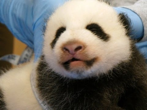 Panda diplomacy: First ladies of U.S., China mark Bao Bao's naming