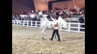 احصان عربي اصيل