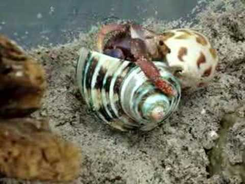 Hermit Crab Shell Change Video