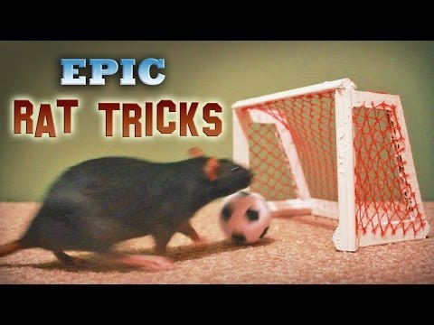 Epic Rat Tricks
