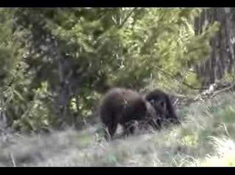 Yellowstone Bear Cubs