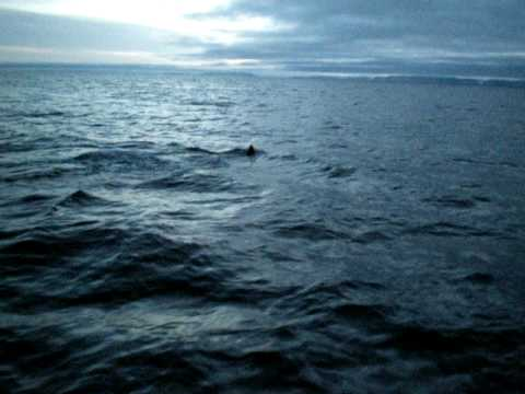 killerwhales near Arctic bay.AVI