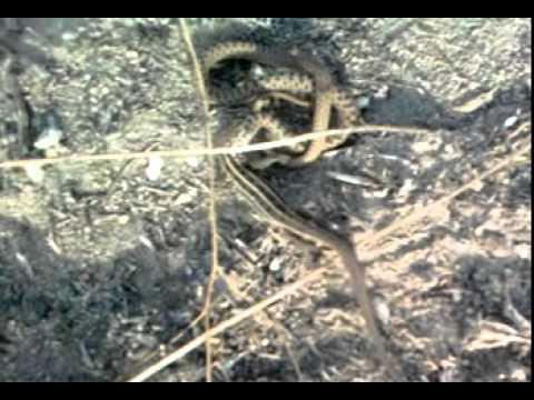 Snake vs lizard / змея против ящерицы