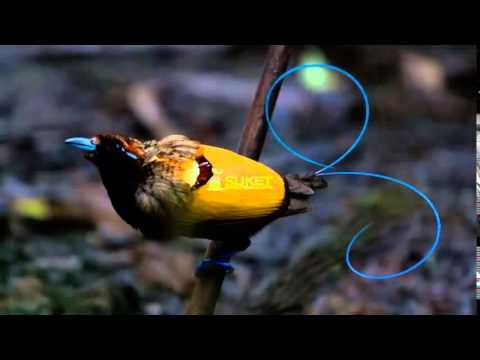[Suara Burung Juara] Surga Cendrawasih Belah Rotan Cicinnurus Magnificus