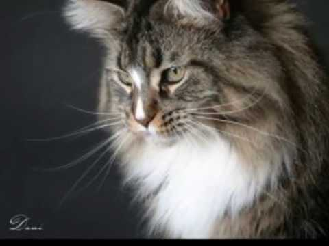 Maine Coon - the American Cat