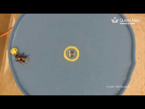 A hole in one: ball-rolling bees reveal complex learning