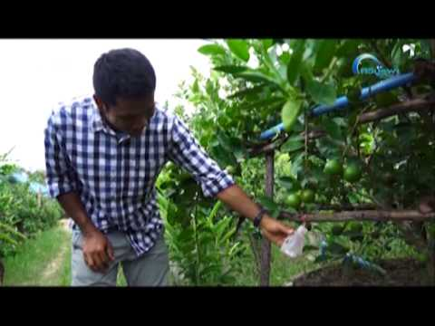 เกษตรพอเพียงลุงเขียว3 ตอน การปลูกมะนาวอินทรีย์ในบ่อซีเมนต์