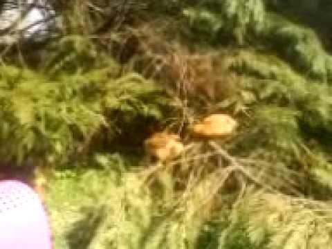 MOV01827. I pulcini giocano saltando sugli alberi, mentre Carlotta e Laura li guardano.