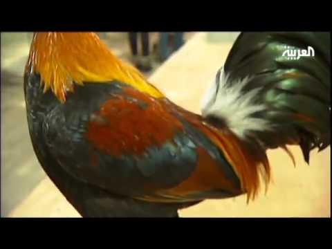 أجمل ديك ودجاجة Music Videos